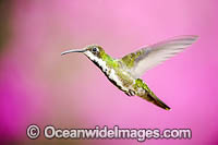 Black-throated Mango Hummingbird photo