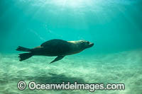 Australian Fur Seal Port Phillip Bay Photo - Gary Bell