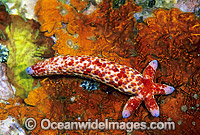 Linckia Sea Star regenerating arm Photo - Gary Bell