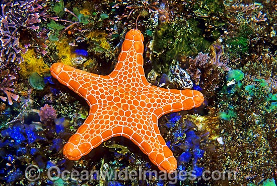 Biscuit Star (Tosia queenslandensis). Also known as Biscuit Starfish. Eastern Australia Photo - Gary Bell