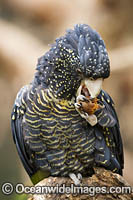 Red-tailed Black Cockatoo Photo - Gary Bell