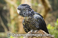 Red-tailed Black Cockatoo Calyptorhynchus banksii Photo - Gary Bell
