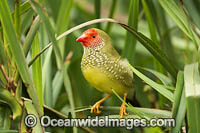 Star Finch Neochmia ruficauda Photo - Gary Bell