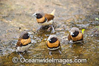 Chestnut-breasted Mannikin Finch Photo - Gary Bell