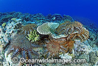 Crown-of-thorns Starfish feeding on Coral image