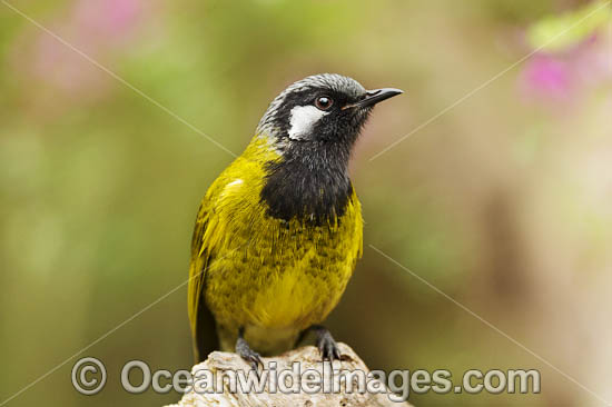 White-eared Honeyeater (Nesoptilotis leucotis). Found in forests, woodlands, heathlands, mallee and dry inland scrublands in eastern and southern Australia. Photo - Gary Bell