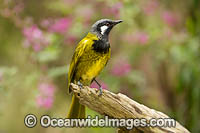 White-eared Honeyeater Photo - Gary Bell