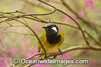White-eared Honeyeater Nesoptilotis leucotis Photo - Gary Bell
