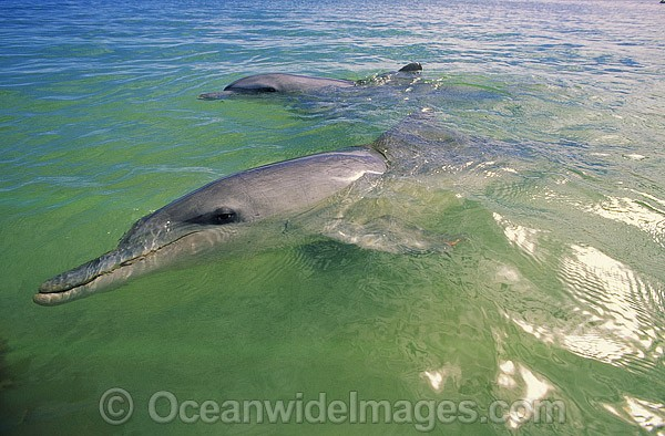 Indo-Pacific Bottlenose Dolphin (Tursiops aduncas) - mother with calf. Photo taken at Monkey Mia, Shark Bay, Western Australia