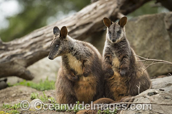 Brush-tailed Rock-wallaby (Petrogale penicillata). Found along the Great Dividing Range from west of Brisbane to northern Victoria, in rainforest and dry sclerophyl forests. Listed as Vulnerable on the IUCN Red List of Threatened Species. Photo - Gary Bell