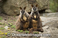 Brush-tailed Rock-wallaby Photo - Gary Bell