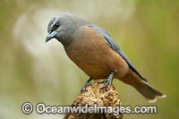 White-browed Woodswallow Photo - Gary Bell