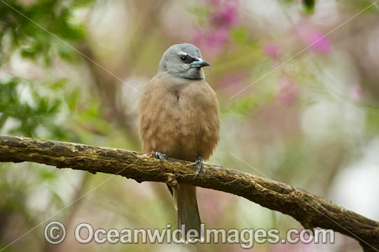White-browed Woodswallow (Artamus superciliosus), female. Found in forests, woodlands, heath and spinifex throughout Australia. Photo - Gary Bell