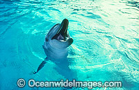 Bottlenose Dolphin Tursiops aduncas Photo - Gary Bell