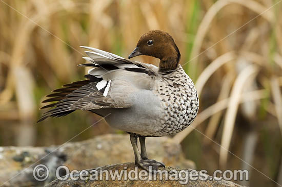 Australian Wood Duck (Chenonetta jubata), male. Also known as Maned Duck or Maned Goose. Found in grasslands, open woodlands, wetlands, flooded pastures and along the coast in inlets and bays throughout Australia. Photo - Gary Bell