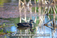 Pacific Black Duck Photo - Gary Bell