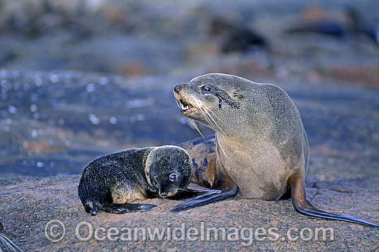 New Zealand Fur Seal mother pup photo