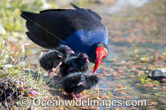 Purple Swamphen (Porphyrio porphyrio), parent with chicks. Found around fresh water, usually near reeds in southern Western Australia and eastern Australia. Photo taken in Coffs Harbour, NSW, Australia. Photo - Gary Bell