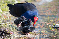 Purple Swamphen Porphyrio porphyri Photo - Gary Bell