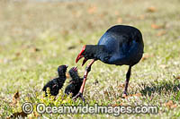 Purple Swamphen chicks Photo - Gary Bell