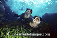 Australian Fur Seal pups photo