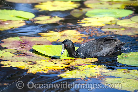 Eurasian Coot (Fulica atra). Also known as Common Coot. Found around freshwater ponds and lakes throughout Australia. Also Europe, Asia, parts of Africa. Photo taken at Coffs Harbour, NSW, Australia. Photo - Gary Bell