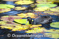 Eurasian Coot Photo - Gary Bell