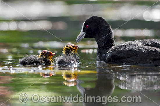Eurasian Coot (Fulica atra), parent with chicks. Also known as Common Coot. Found around freshwater ponds and lakes throughout Australia. Also Europe, Asia, parts of Africa. Photo taken at Coffs Harbour, NSW, Australia. Photo - Gary Bell