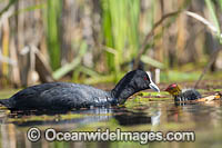Eurasian Coot Fulica atra photo