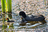 Eurasian Coot chicks Photo - Gary Bell