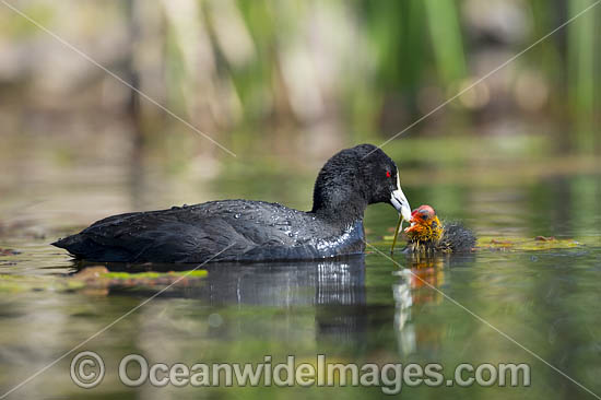 Eurasian Coot (Fulica atra), parent with chick. Also known as Common Coot. Found around freshwater ponds and lakes throughout Australia. Also Europe, Asia, parts of Africa. Photo taken at Coffs Harbour, NSW, Australia. Photo - Gary Bell