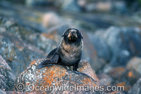 New Zealand Fur Seal (Arctocephalus forsteri) - pup. Neptune Islands, South Australia. Classified Low Risk on the IUCN Red List.