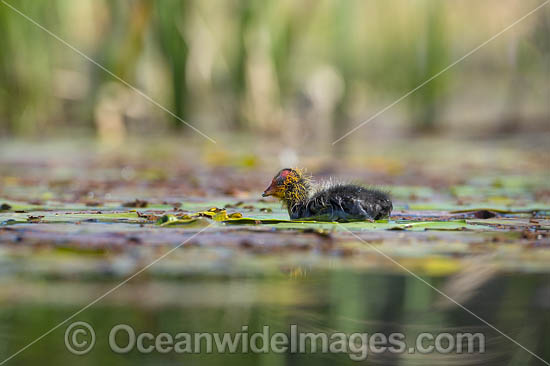 Eurasian Coot (Fulica atra), chick. Also known as Common Coot. Found around freshwater ponds and lakes throughout Australia. Also Europe, Asia, parts of Africa. Photo taken at Coffs Harbour, NSW, Australia. Photo - Gary Bell