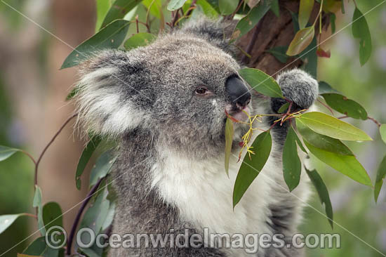Koala (Phascolarctos cinereus), eating eucalypt gum tree leaves. Victoria, Australia. Photo - Gary Bell