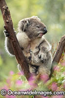 Koala in tree Photo - Gary Bell