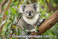 Koala in eucalypt tree Photo - Gary Bell