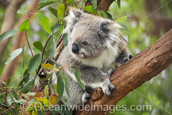 Koala (Phascolarctos cinereus), in a eucalypt gum tree. Victoria, Australia. Photo - Gary Bell