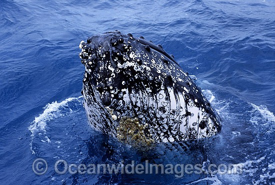 Humpback Whale (Megaptera novaeangliae) - spy hopping on surface showing tubercles on head area. Hervey Bay, Queensland, Australia. Classified as Vulnerable on the 2000 IUCN Red List. Photo - Gary Bell