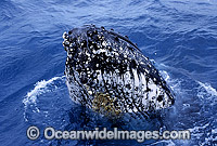 Humpback Whale tubercles Photo - Gary Bell