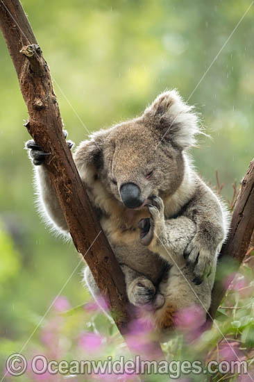 Koala (Phascolarctos cinereus), resting in a tree and scratching itself. Victoria, Australia. Photo - Gary Bell
