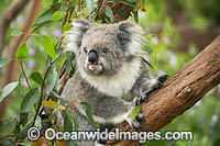 Koala in gum tree Photo - Gary Bell