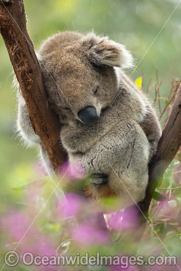 Koala (Phascolarctos cinereus), resting in a tree. Victoria, Australia. Photo - Gary Bell