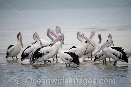 Australian Pelicans (Pelecanus conspicillatus). This large water bird is found throughout Australia and New Guinea. Also in Fiji and parts of Indonesia and New Zealand. Central New South Wales coast, Australia. Photo - Gary Bell