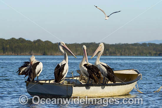 Australian Pelicans (Pelecanus conspicillatus), resting on a boat. This large water bird is found throughout Australia and New Guinea. Also in Fiji and parts of Indonesia and New Zealand. Central New South Wales coast, Australia. Photo - Gary Bell