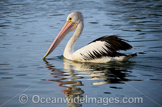 Australian Pelican (Pelecanus conspicillatus). This large water bird is found throughout Australia and New Guinea. Also in Fiji and parts of Indonesia and New Zealand. Central New South Wales coast, Australia. Photo - Gary Bell