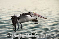 Australian Pelican flying Photo - Gary Bell