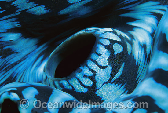 Giant Clam (Tridacna gigas) siphon detail. Great Barrier Reef, Queensland, Australia Photo - Gary Bell