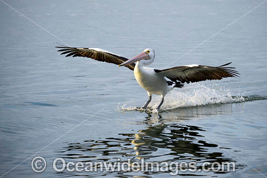 Australian Pelican (Pelecanus conspicillatus), in flight. This large water bird is found throughout Australia and New Guinea. Also in Fiji and parts of Indonesia and New Zealand. Central New South Wales coast, Australia. Photo - Gary Bell