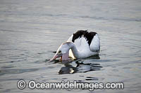 Australian Pelican fishing Photo - Gary Bell