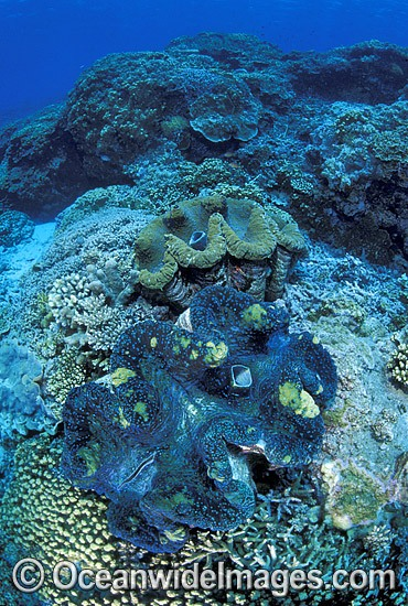Giant Clams Great Barrier Reef photo